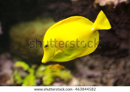 Yellow tang (Zebrasoma Flavescens).