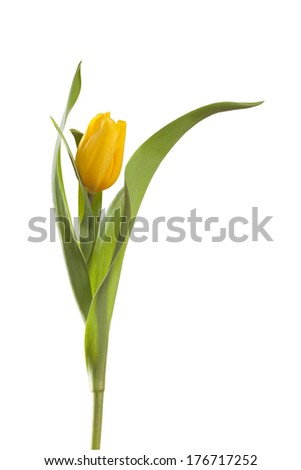 yellow tulip flower on a stem with leaves isolated on white background