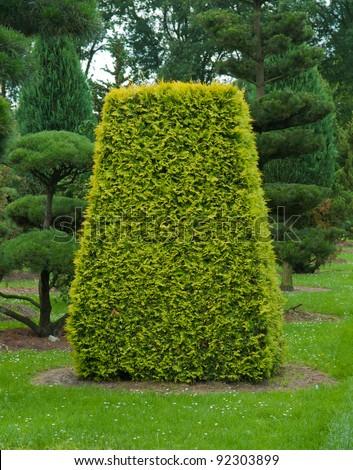 yew tree topiary - stock photo