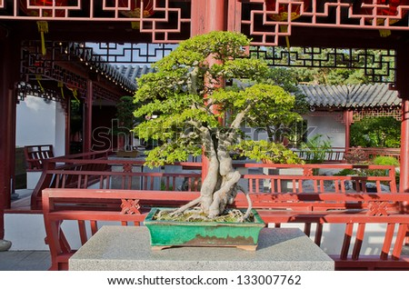 80 yo Chinese Elm bonzai tree - stock photo