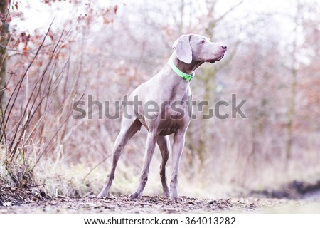 young, beautiful, healthy and sad weimaraner dog waits alone and staring into the distance, winter forest in the morning - stock photo