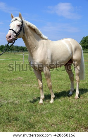 Young cremello stallion posing on summer meadow - stock photo