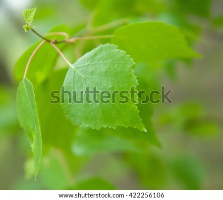 young leaves of a birch on a branch of light green color - stock photo