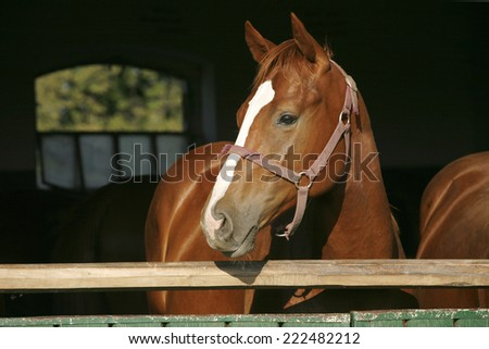 Young thoroughbred chestnut colored horse in the stable door - stock photo