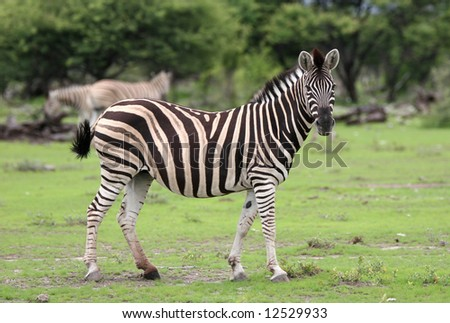 Zebra curiously looking at camera.  Etosha National Park. Namibia - stock photo
