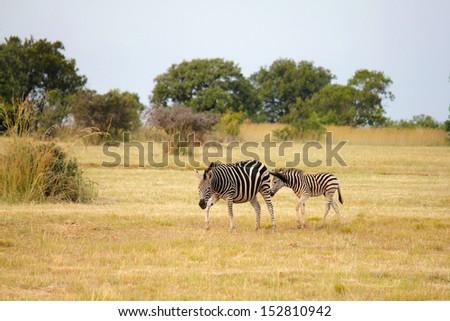zebras (hippotigris) - stock photo