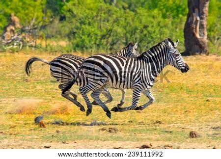 2 Zebras running across the plains - motion shot - stock photo