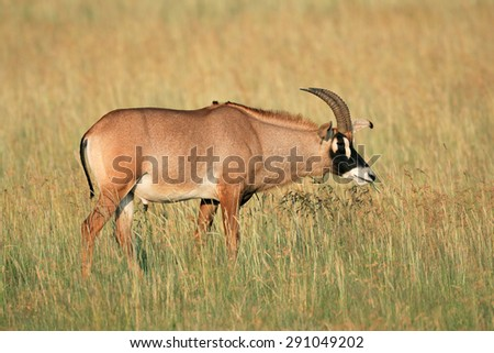 A a rare roan antelope (Hippotragus equinus) in grassland, South Africa  - stock photo