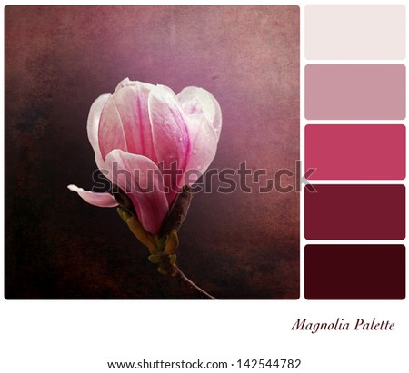 A a single pink magnolia flower on a vintage style background,  in a colour palette with complimentary colour swatches. - stock photo