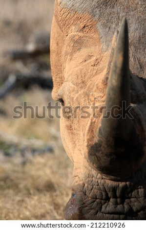 A abstract photo of a white rhino covered in mud and moving towards the camera showing off his large horn. South Africa