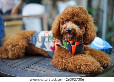 A adorable brown poodle in costume - stock photo