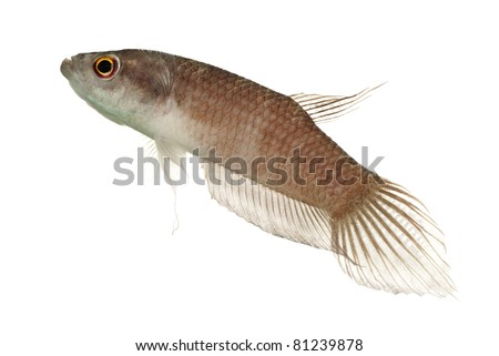 A Adult Male Betta enisae in Off Breeding Colors - stock photo