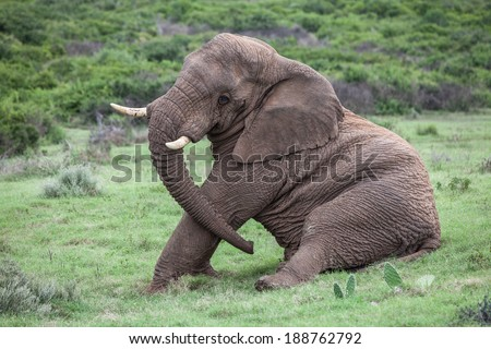 A african elephant siting down on the grass  - stock photo