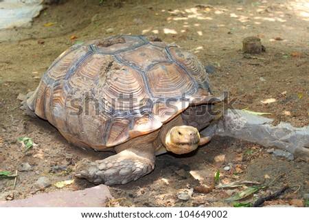 A aldabra giant tortoise (Aldabrachelys gigantea),the world no.2 biggest turtle - stock photo