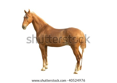 A american saddlebred horse isolated on white
