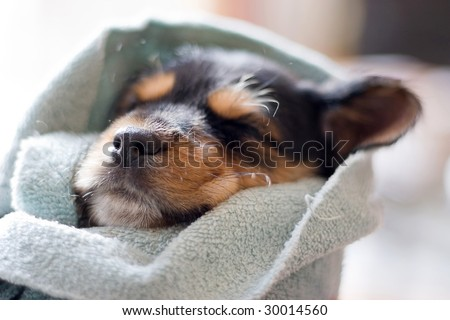 A an adorable puppy all wrapped up in a blanket. - stock photo