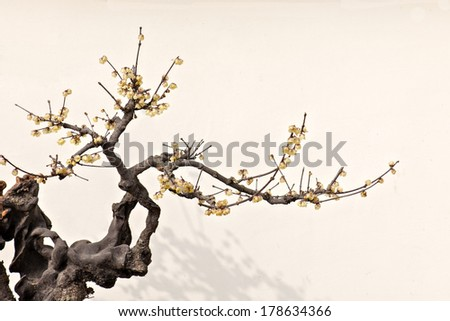a ancient flowering plum tree on the white background. - stock photo