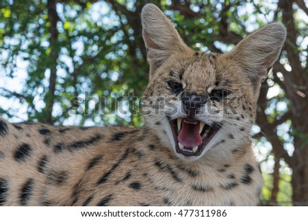 A angry serval snarling front on