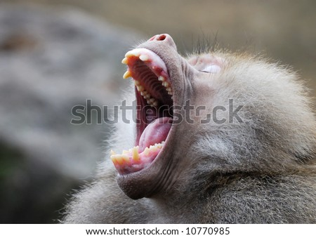 A male Japanese Macaque (Snow Monkey) bares his teeth Stock Photo ...