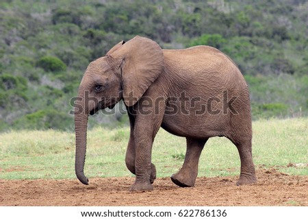 A baby African elephant strides purposefully across a dried out plain