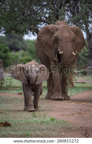 A baby African elephant walks ahead of it's mother as they move along an ancestral path in a game reserve in Botswana in Southern Africa. - stock photo