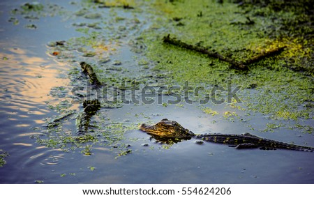 A baby alligator swims in a murky pond searching for small bugs to eat in the spring.