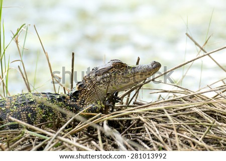 A baby American alligator in a Florida waterway - stock photo