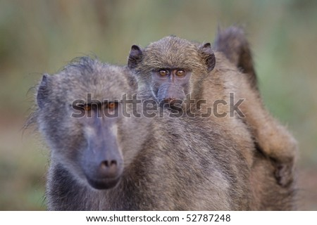 A baby baboon riding on its mother's back with the focus on the baby's eyes - stock photo