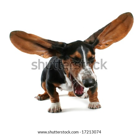 a baby basset hound yawning with big ears - stock photo