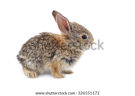 A baby cottontail rabbit, isolated on a white background. - stock photo