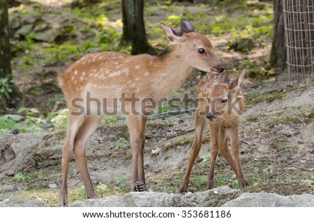 a baby deer with his mother - stock photo