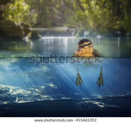 a baby duck floating in a pond with a split level view of above and below  - stock photo