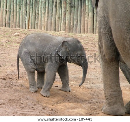 A baby elephant - stock photo