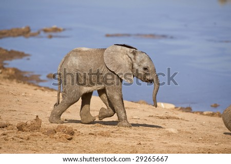 A Baby Elephant runs past the photographer