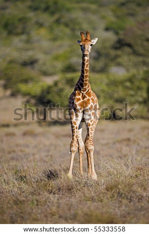 A baby Giraffe is all knees and cuteness - stock photo