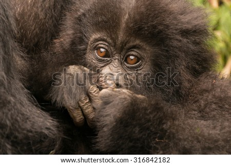 A baby gorilla in the forest of the Parc National des Volcans in Rwanda hides its mouth with its hands. It is being held by its mother, but a little of her chest can be seen beside the baby's head. - stock photo