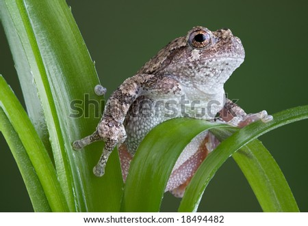 A baby gray tree frog is climbing on a green plant.