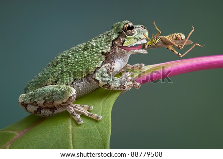 Baby Tree Frogs Eat a Baby Grey Tree Frog Has