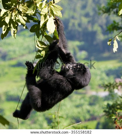 A baby mountain gorilla in a tree. Uganda. Bwindi Impenetrable Forest National Park. An excellent illustration. - stock photo
