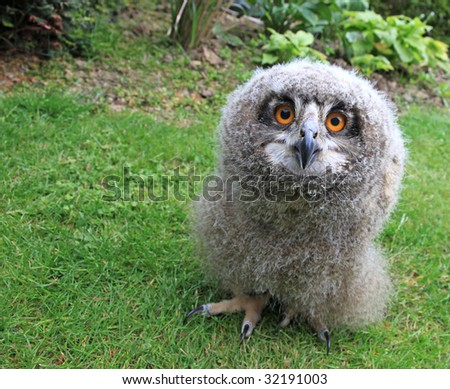 a baby owl ( 3 weeks old ) Bubo bubo or Eurasian Eagle Owl - stock photo