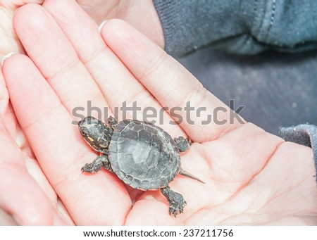 A baby Painted Turtle being held in a hand.