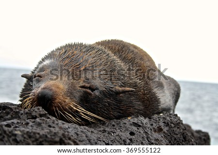 A baby sea lion sleeps on a rock on the island of San Cristobal in the Galapagos Islands, Ecuador