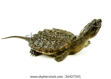 A baby snapping turtle isolated on a white background - stock photo