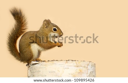 A baby squirrel on a birch log enjoying some sunflower seeds in the fall with copy space. - stock photo
