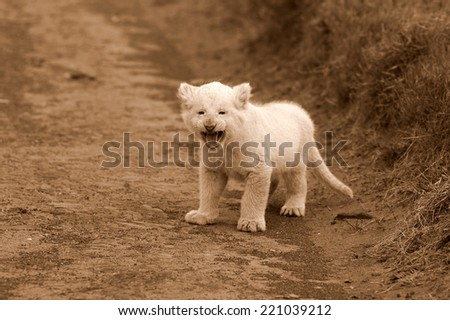 A baby white lion cub call his mother in this sepia tone image. - stock photo