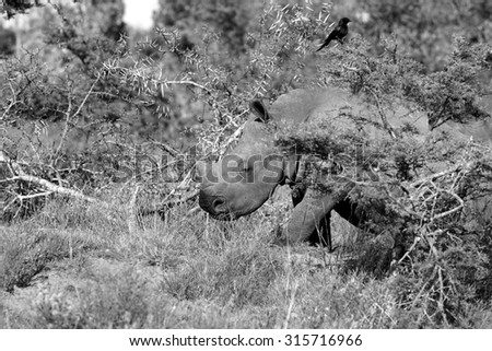 A baby white rhino / rhinoceros in this image taken on safari in South Africa - stock photo