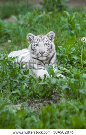 A baby white tiger in grass  - stock photo