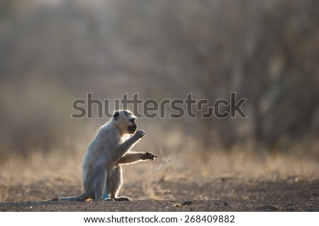 A back lit horizontal photo of a monkey sitting and eating. - stock photo
