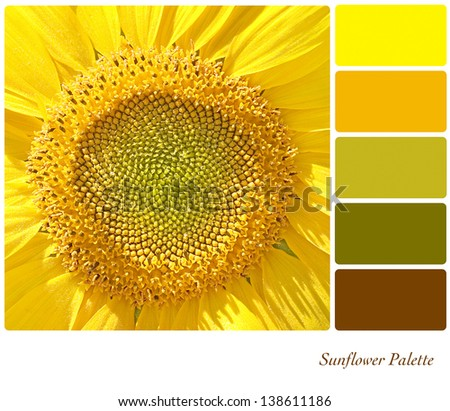 A background closeup of a sunflower in a colour palette with complimentary colour swatches. - stock photo