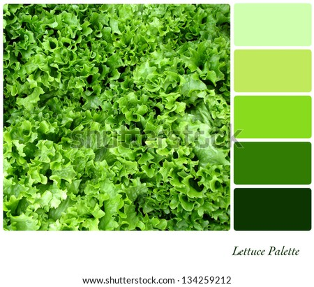 A background closeup of curly lettuce leaves in a colour palette with complimentary colour swatches. - stock photo